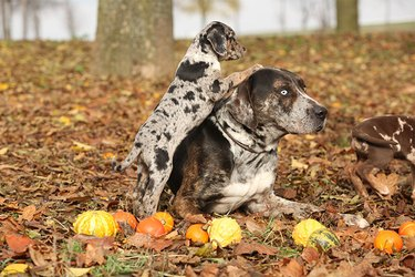 One large brown catahoula dog sitting in leaves with a similar puppy leaning on him.