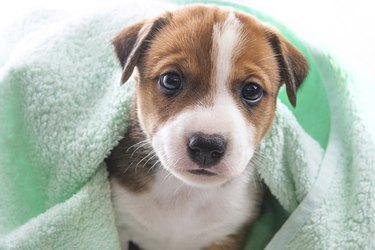 cute puppy in fluffy green towel