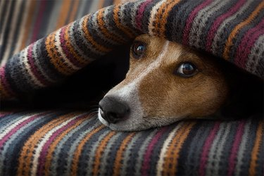 Close up of a brown dog under a striped blanket