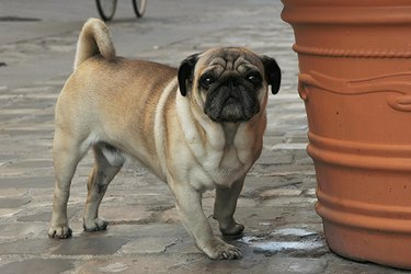 A pug standing by a large planter