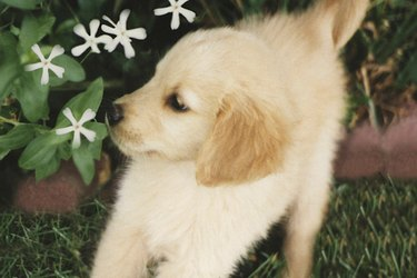 White puppy smelling flowers