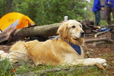 Golden retriever at a campsite.