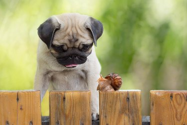Pug looking at a snail on a fence outside