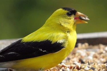 A yellow bird eating birdseed.