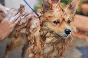 A wet brown dog being bathes