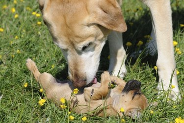 An older dog playing with a puppy laying in green grass