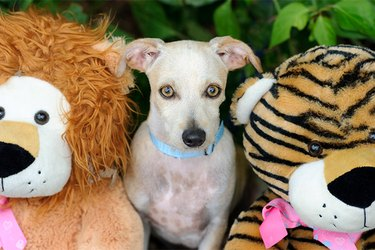 A dog sitting between two stuffed animals.