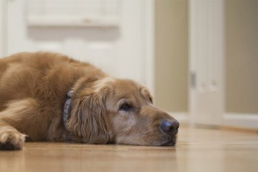 Tired dog lying on floor