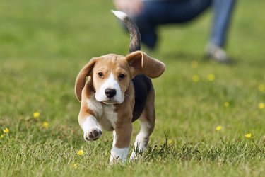 Brown and white dog running in grass