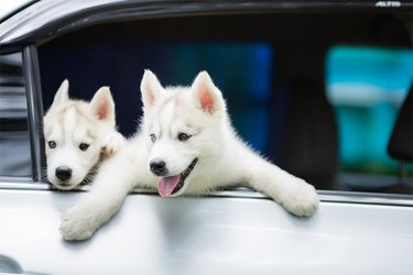 Two white dogs in a car.