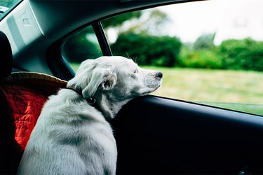 White dog looking out car window.