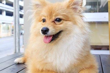 Close up of a brown Pomeranian