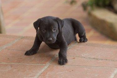 A black puppy learning to walk on brick sidewalk