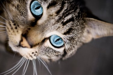 Close up of gray cat with blue eyes