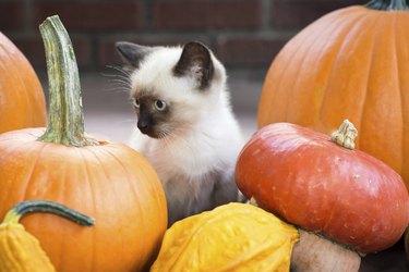 kitten among pumpkins