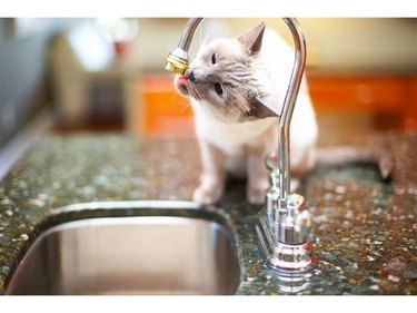 Cat licking kitchen faucet