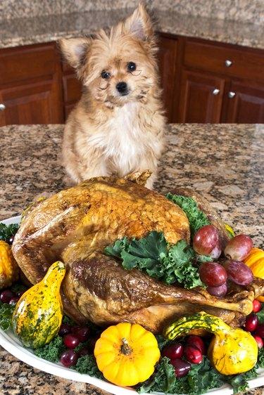 dog next to turkey