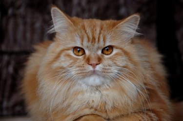 A fluffy orange cat looking at the camera