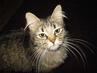 A fluffy grey cat close up.
