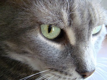 Close up of gray cat with green eyes