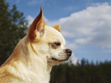 A profile of a white Chihuahua outside