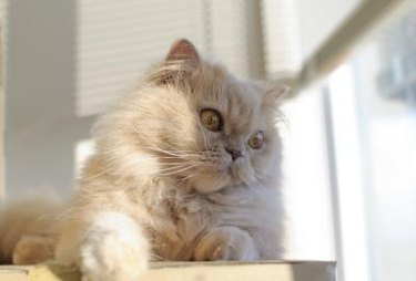 Cream colored long-haired cat sitting by a window.