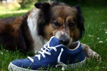 dog chewing on blue sneaker