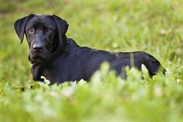 A black Labrador in grass
