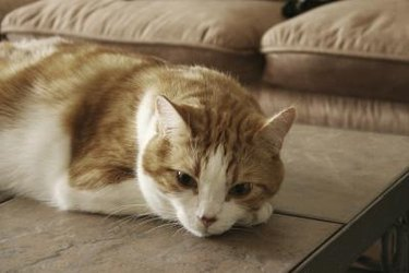 Orange and white tabby cat resting on front paw.