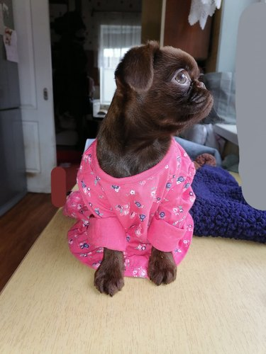 dog models pink dress
