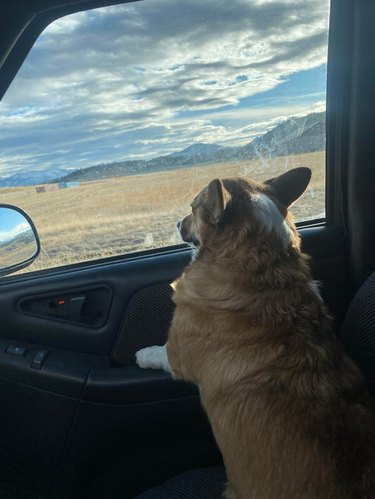 Corgi in front passenger seat of car looking out window at grassy field