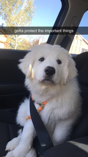 Puppy buckled into front passenger seat of car