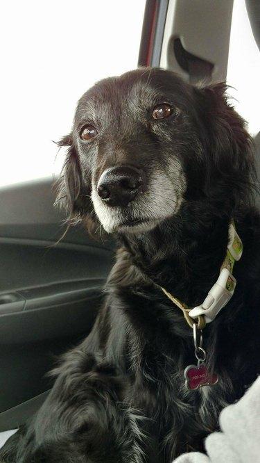 Old black dog in front passenger seat of car