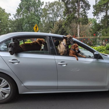 Five large dogs sticking their heads out of every window of small car