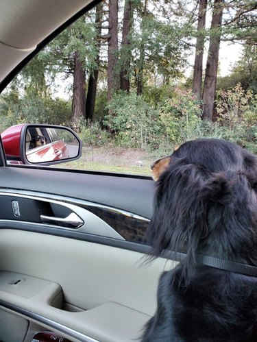 Long-haired dachshund in front passenger seat of car looking at side mirror