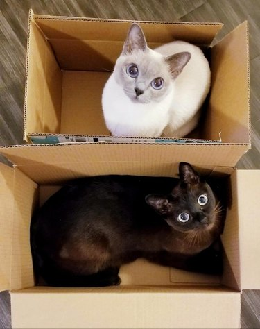 Two cats sitting in side by side cardboard boxes
