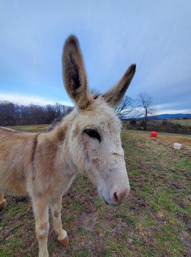 donkey with big ears