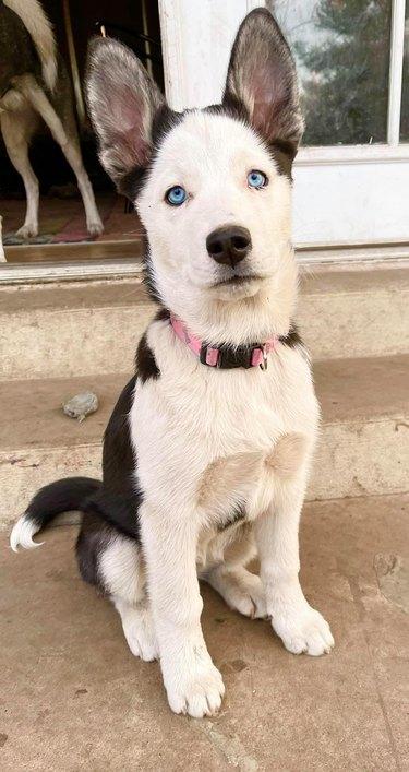 husky dog's ears stick up