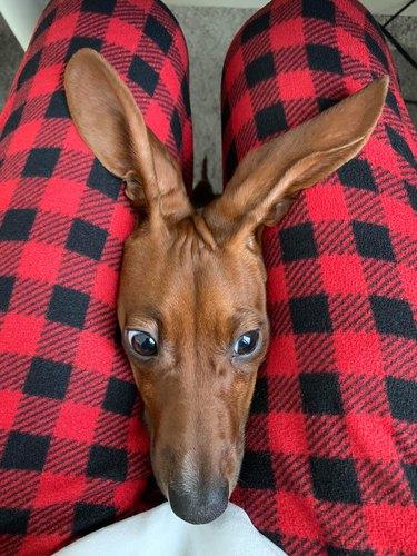 daschund dog with big ears