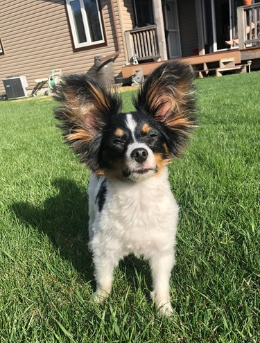 dogs with big ears