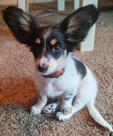 dog with big ears listens attentively