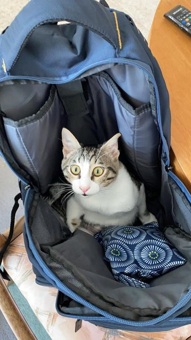 Cat sitting in backpack