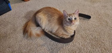 Cat sitting in circle made by discarded belt