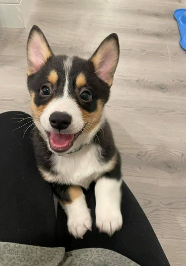 puppy with big ears