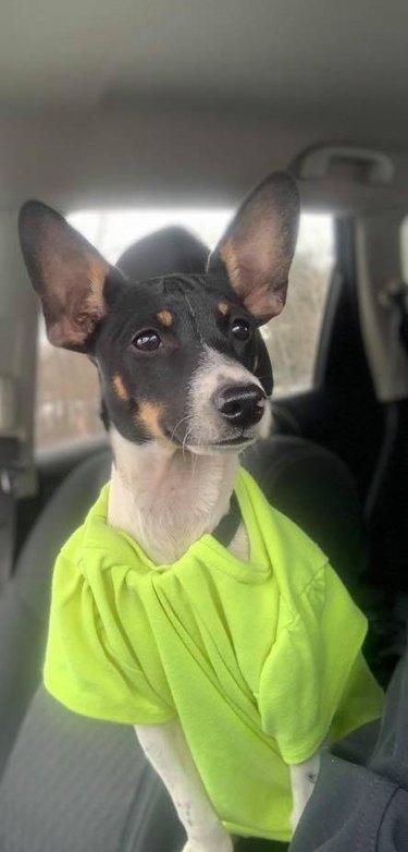 dog with big ears poses