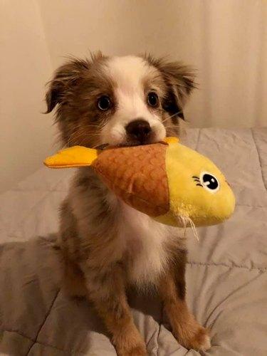 dog holds toy fish