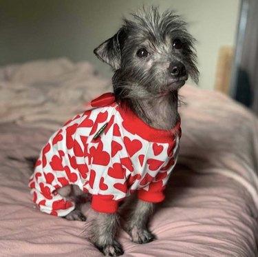 dog in heart pajamas