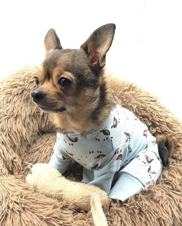 dog in blue pajamas