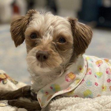 dog in cupcake pajamas