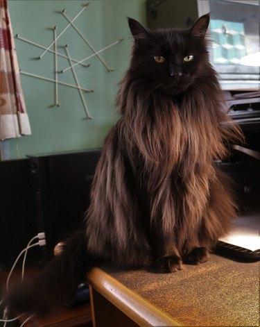 black cat changes colors in light